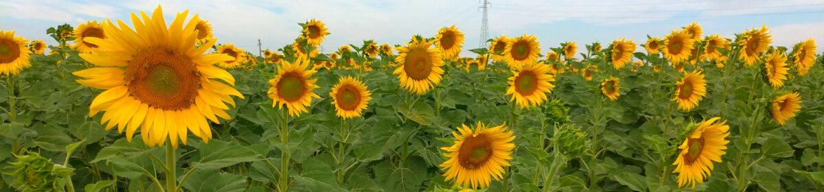 Radio Oltrepo Pavese Sunflowers Station